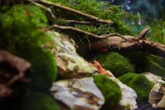 Une écrevisse mexicaine pour Aquariu nano Photos stock