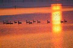 Une équipe de cygnes dans le coucher du soleil image libre de droits