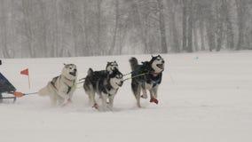 Une équipe de quatre chiens enroués de traîneau participe à une course banque de vidéos