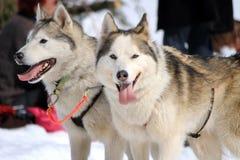 Une équipe enrouée de chien de traîneau au repos Photographie stock libre de droits