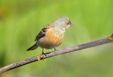Une étamine ortolan masculine dans le plumage d'élevage se repose sur une branche Photographie stock