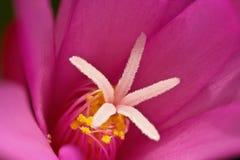Une étoile en forme de coeur (une usine succulente en fleur) Photographie stock
