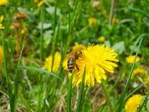 Une abeille à une fleur au parterre image libre de droits