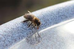 Une abeille assoiffée boit d'une cuvette de l'eau Image stock
