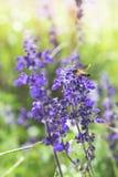 Une abeille au-dessus de la fleur pourpre Images libres de droits