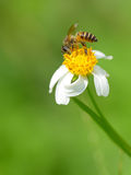 Une abeille boit du nectar Photos stock