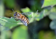Une abeille brune de miel se reposant sur la feuille verte photographie stock
