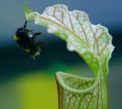 Une abeille de gaffer rassemblant le nectar Photographie stock libre de droits