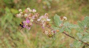 Une abeille de gaffer sur une fleur de Blackberry Photo libre de droits