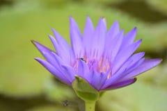 Une abeille en fleur images libres de droits