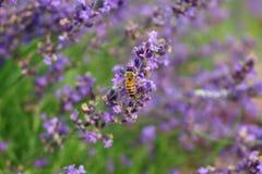 Une abeille en fleur photo libre de droits