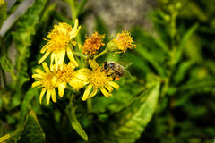 Une abeille en nature Photos libres de droits