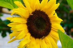 Une abeille moissonnant le pollen d'un tournesol images libres de droits