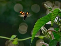 Une abeille planante de miel Photos libres de droits