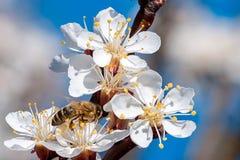 Une abeille pollinisant sur le blosson d'abricot Image libre de droits