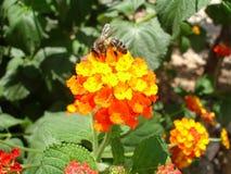 Une abeille rassemblant le nectar d'une fleur Images libres de droits