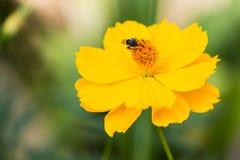Une abeille rassemblant le nectar sur le cosmos jaune Image stock