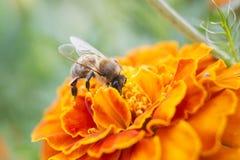 Une abeille rassemble le nectar Photo libre de droits