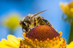 Une abeille rassemblent le nectar sur le ciel bleu Photographie stock libre de droits