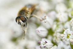 Une abeille recueillant le pollen. Images stock