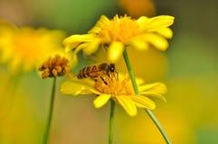 Une abeille se cachent dans le souci photo stock