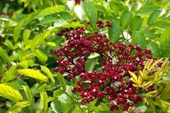 Une abeille suce la fleur indica rouge de Leea et l'abeille travaille entre d'autres abeilles Image stock