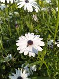 Une abeille sur une fleur blanche image libre de droits