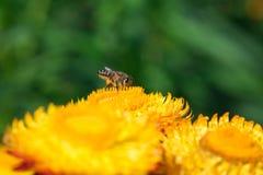 Une abeille sur la fleur de souci Photo libre de droits