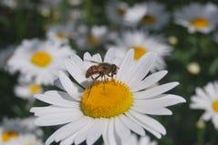 Une abeille sur la fleur du blanc images stock