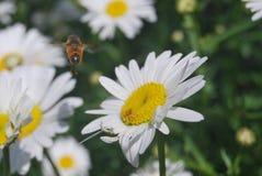 Une abeille sur la fleur du blanc photo libre de droits
