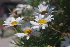 Une abeille sur la fleur du blanc image stock