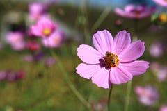Une abeille sur le Calliopsis Photographie stock