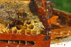 Une abeille sur le nid d'abeilles images libres de droits