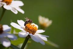 Une abeille sur une fleur Photographie stock