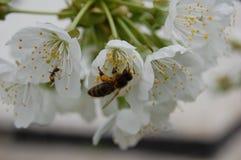 Une abeille sur une fleur Photographie stock libre de droits