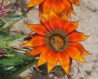 Une abeille sur une fleur Image libre de droits