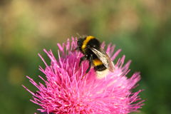 Une abeille sur une fleur d'un chardon photographie stock libre de droits