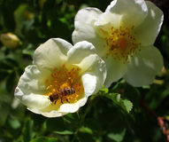 Une abeille sur une fleur, une collection de nectar Image stock