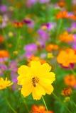 Une abeille travaillant à la fleur jaune fraîche Photographie stock