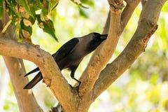 Une allocation des places de corneille sur la branche d'arbre en parc public regardant impressionnant le jour ensoleillé Images stock