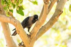Une allocation des places de corneille sur la branche d'arbre en parc public regardant impressionnant le jour ensoleillé Photo stock