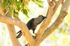 Une allocation des places de corneille sur la branche d'arbre en parc public regardant impressionnant le jour ensoleillé Image libre de droits