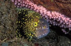 Une anguille morale protégeant sa maison rocheuse Image stock