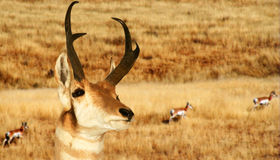 Une antilope de Pronghorn Photos libres de droits