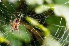 Une araignée avec la toile d'araignée complètement des baisses de rosée Photographie stock