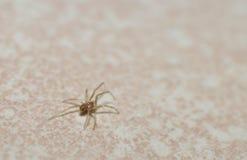 Une araignée d'herbe de bébé sur un fond blanc photos libres de droits