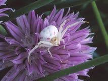 Une araignée de crabe sur la fleur de ciboulette Photographie stock libre de droits