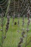 Une araignée de globe au milieu de sa rosée a couvert le Web Image stock