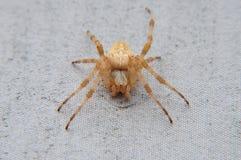 Une araignée de jardin Images libres de droits
