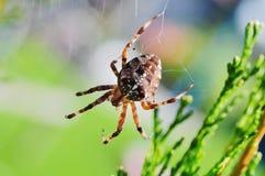 Une araignée de jardin Image libre de droits